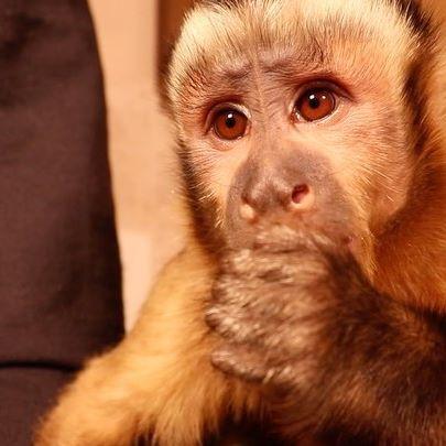 Monkey Happy enjoys his healthy snack. 🐵 . . #monkey #monkeys #almond #almonds #justnuts #nuts #cute #pets #petmonkey #petsofinstagram #petlife
