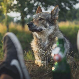 CzechoslovakianWolfdog 🇨🇿🇸🇰🐺🐕
