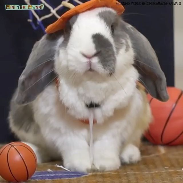 Happy Halloween people! On this day, 3 years ago, I broke a Guinness World Record for the most slam dunks by a rabbit in a minute. I proved the world that rabbits are smart and intelligent, and should be respected more 😘🎃👻🐰🥳🏀❤️ #guinnessworldrecord #breakingrecords #guinness #tbthursday