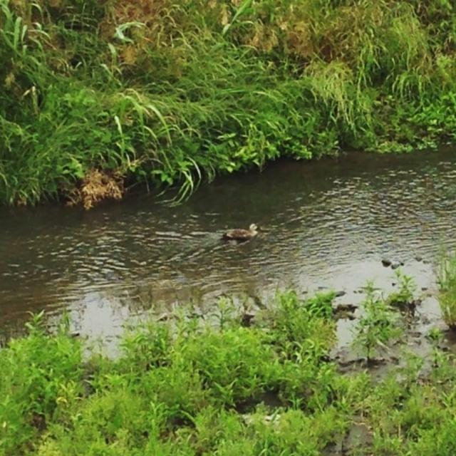 Patito cuack cuack #pato #patito #rio #japon #naturaleza 🐤 Siempre veo patos en el río 😊