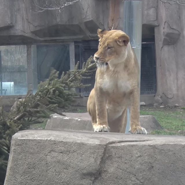 Celebrating #NationalSiblingsDay with the new lionesses. Eloise is checking out the tree, Amari is checking out what Eloise is doing 🐾  #MKEZoo #BringingTheZooToYou