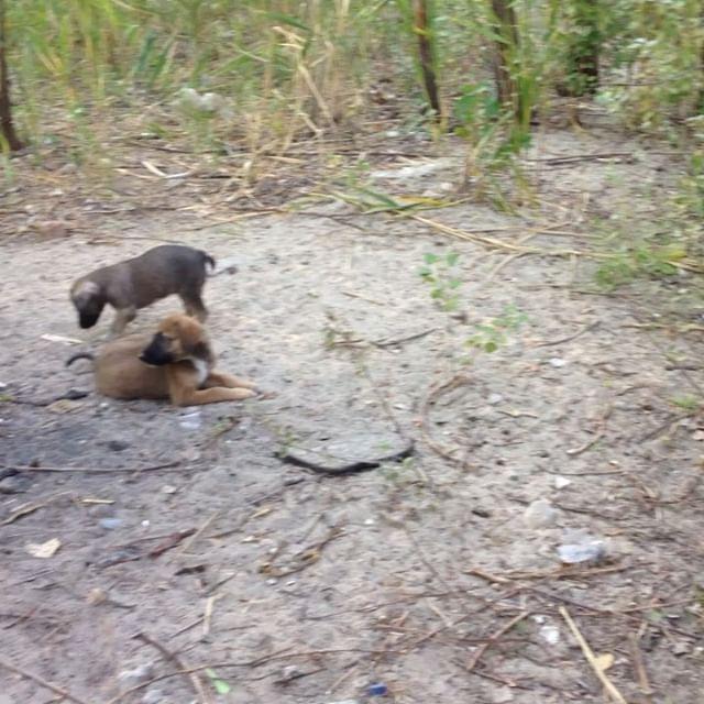 Сумели пристроить 13 щенят. Но 2 осталось на нашем попечении, потому что, оба инвалидика. У одного передняя Лапка с патологией, у рыжего задняя откушана. #собака  #щенок  #собаки #щенки