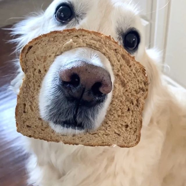more like 99% good boi, 1% pureBREAD golden retriever 🍞