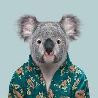 Uykusuz Koala