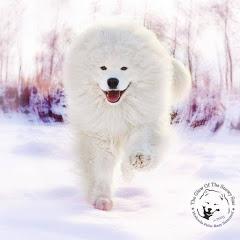 Snowy Star Samoyeds