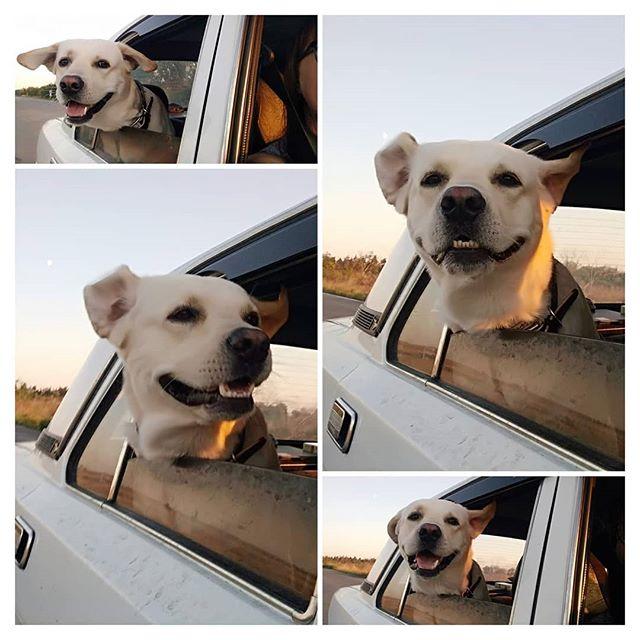 А ваши четвероногие друзья любят выглядывать в окошко когда едут в машине?😃 #лабрадор#лабрадорретривер #ретривер#лабрадорЦезарь#лабр #собака#счастье#собакадруг #друг #мимими#лабрадория#labrador #labradorretriever#retriever #labradorCaesar#dog#labr#dogs #happiness#instadog#pet#pets #animal#animals#friend#friends