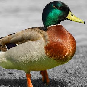 Ducky Extra