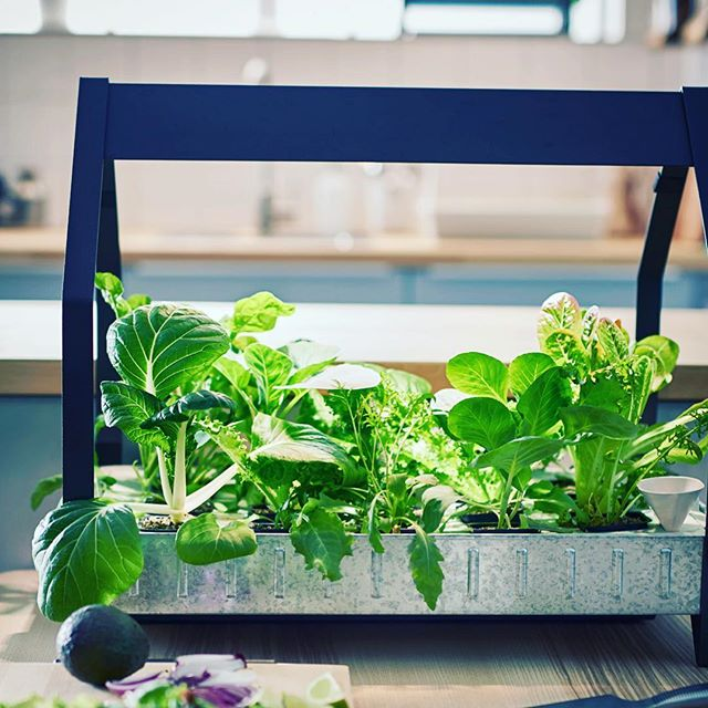 Home hydroponic systems are a great way to grow your own food.  This method of growing is free from soil disease and chemicals used on industrial farming. This is super affordable, easy and a great way for kids to learn. #homegydroponics #hydroponics #homegrow #growyourownfood #food #hydroponicsathome