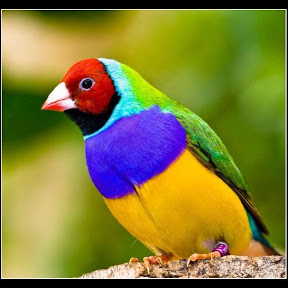XtremeMundial Birds