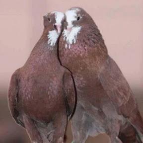 عشاق طيور العراق
