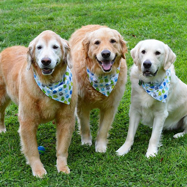 Have a great weekend furriends!! #goldenoftheday #goldenretriever #gloriousgoldens #handsomehound