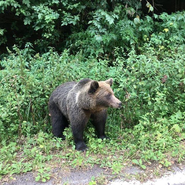 #bear #naturalhabitat #lovelybrownbearr #ursulbrun #romaniafrumoasa #vacanta #familytime #withyoubabygirl #holiday #septemberisamazing