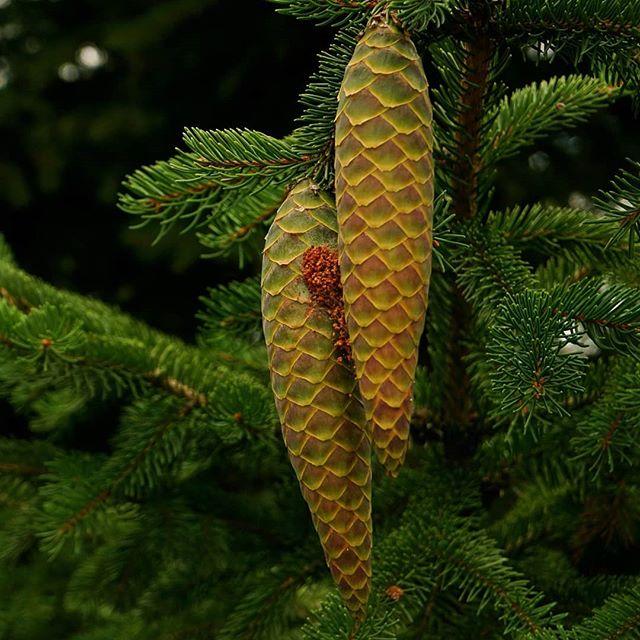 Szyszunie🌲📸#szyszki #świerk #las #przyroda #urok #zapach #polska #cones #spruce #forest #nature #charm #smell #poland #photography