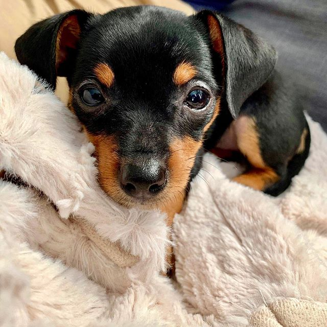 I'm now a dad! 🐶😍 Everyone, meet Zoey! 🐾❤️ #DogsOfInstagram #PuppiesOfInstagram #PuppyDaddy