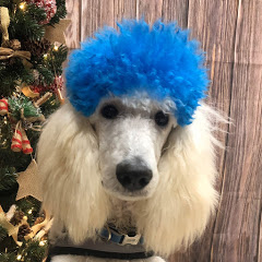 The Fluffy Poodle
