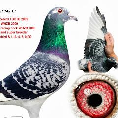 Champion Kulbacki Racing Pigeons Brieftauben