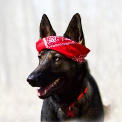 Mocha the German Shepherd