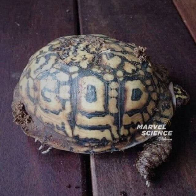 This turtle's shell has GOD written on it. #turtlepower #turtles #turtletattoo #turtleturtle #turtlelover #turtlebayresort #turtleconservation #turtlegram #turtleman #turtleneck #turtle #tortoise #tortoisegram #tortoisesofinstagram #turtle #sulcatatortoise #sulcatasofinstagram #petstagram #petsofinstagram #cuteanimals #science #sciencelover #nature #naturephotography #marvelscience