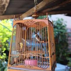 นกกรงหัวจุก บ้านนอก