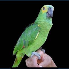 Filhote de papagaio