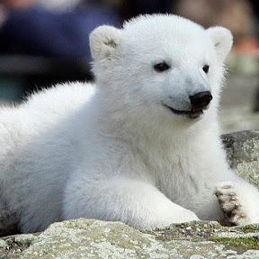 gấu trắng channel