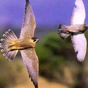 Голуби Астрахани и хищник