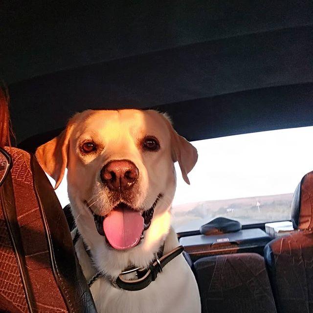 Солнечный зайчик 🌞 #лабрадор#лабрадорретривер #ретривер#лабрадорЦезарь#лабр #собака#собакадруг #любовь#счастье#друг #мимими#лабрадория#labrador #labradorretriever#retriever #labradorCaesar#dog#labr#dogs #happiness#Spring#instadog#pet#pets#animal#animals#friend#friends