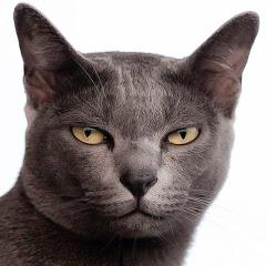 Tiki Korat Cat