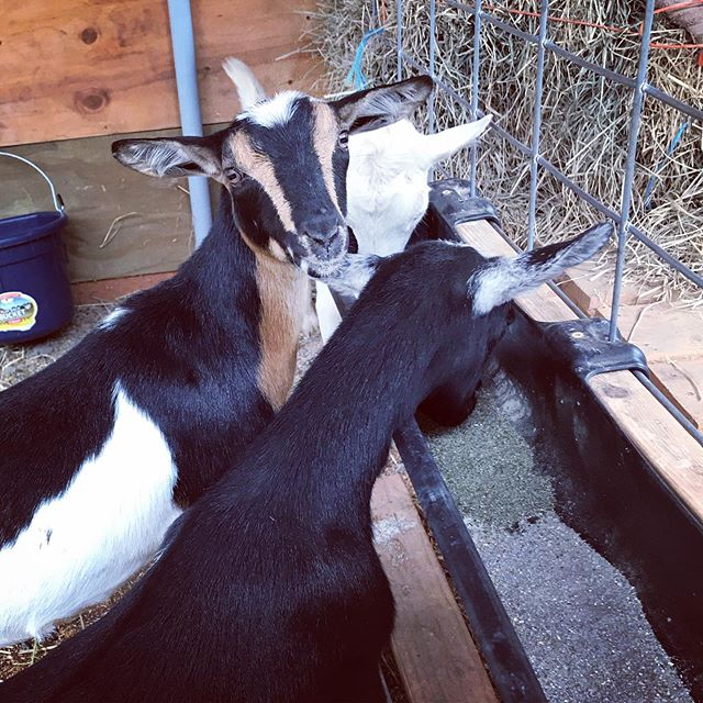 Fern you are my favorite goat .. I'm lucky to have you in our lives. You snort like a pig .. and are the cutest ♥️
