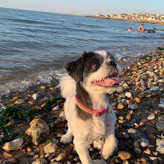Lets Play forever, I just wanna be your dog.. 🎶🤪 - - - - - Photography by @jungflockistheshwip -  #dog #puppy #beach #stones #sea #ocean #savetheplanet #photography #naturephoto #photo #nature #shihtzu #happy #followforfollow #likeforlike