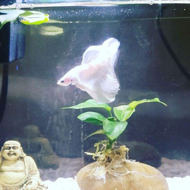 Mom's #bettafish thats named Lighting