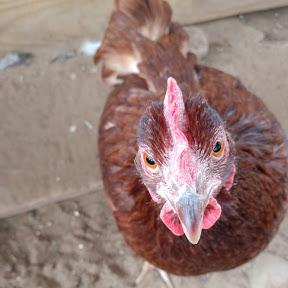Northern Wisconsin Chicken Chat