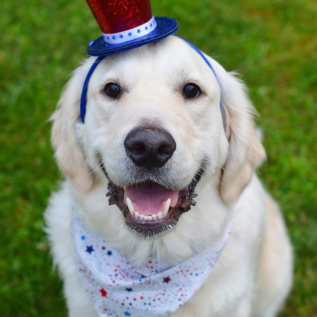 Another holiday and another embarrassing holiday headwear photo. 🙈 We hope every one is having a wonderful Independence Day!! #4thofjuly 🍔🌭🥧🍦🎆🎇 . . . #fitzthegoldenretriever #goldenoftheday #goldenretriever #goldenretrieversofinstagram #gloriousgoldens