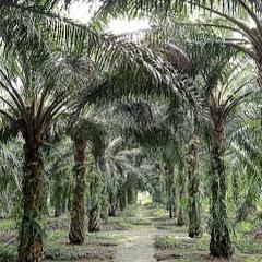 udy kelapa sawit