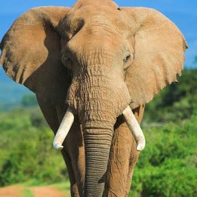 Rinid Elephant