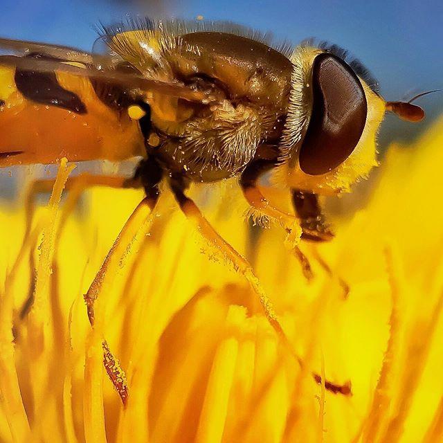 Hoverfly enjoying the last throws of Summer  _________________________  #hoverfly #insectsofinstagram #explore_macro #macro_mood #macro_highlight #igw_macro #majestic_macros #Thehub_macro #pocket_macro #macro_vision #macroclique #ig_fotografdiyari #igmw_macro #macroworld_tr #turklikeben_macro #macroandflora #featured_macros #macrogrammers #jonmacephotography #beaniedee #shotoniphone #shotonmoment