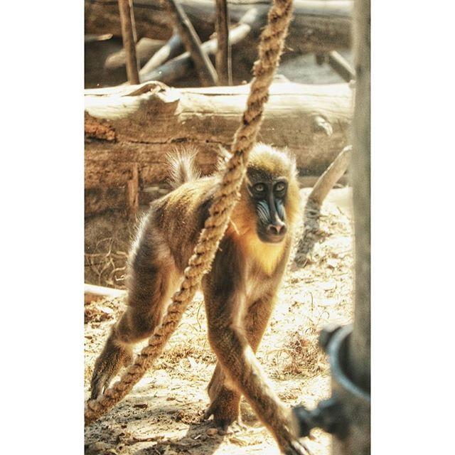 Trochę lasu i jesieni, a trochę małp, bo mam jeszcze zdjęcia z wakacji 🙈  #august#animalsofinstagram #nature#igerspoland#naturephotography#природа#август#ournaturedays_5k #ignature#naturelovers#naturephotography#natureperfection#naturelover#summer#lato#naturehub#animals#animaloftheday#animalslover#animalplanet#monkeysofig #monkey#małpa#mandrill#mandryl#animalshots#instaanimal#monkeyofinstagram#обезьяна#мандрил#monkeys