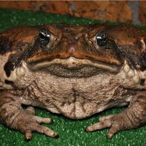 ЖИРНА жаба