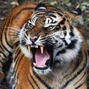 тигр дэ фуэго