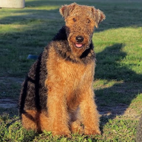 Airedale Terrier Lady MOdesty