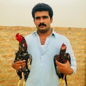 Sindh Aseel Murghe