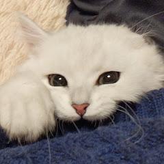 ペルシャ猫のロク