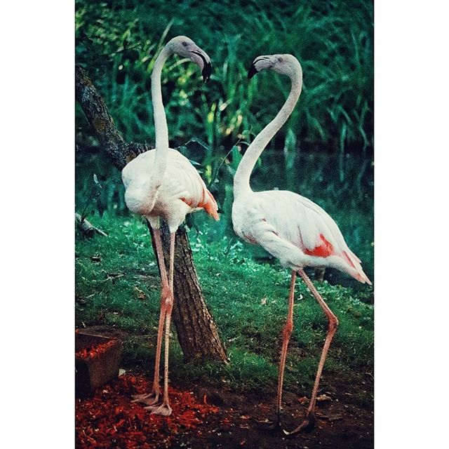 #flamingo#birdsofinstagram #nature#igerspoland#naturephotography#природа#flaming#ournaturedays_5k #ignature#naturelovers#naturephotography#natureperfection#naturelover#summer#bird#birds_freaks#birdsofig#lato#naturehub#birds#animals#animaloftheday#animalslover#animalplanet#animalsofinstagram#instabird#flamingos#birdsworld #birds_private#bird_captures#birdshots