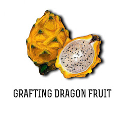 Grafting Dragon Fruit