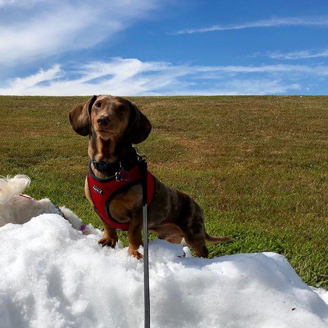 ☕️Morning Pep Talk with Charlie☕️Face each day with a superhero pose. You will be okay. #dachshundsofinstagram #dachshundsofinstagram #superheroposes #snow #dogsofinstagram #dogoftheday #dogstagram #dogfriend #dogwalking #dogtraining#coffeetalks #dogsofinstaworld