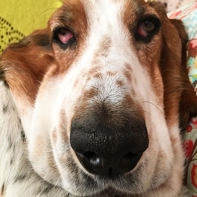 The serotonin in your brain has increased. Your welcome. #bassethound #happyface #squisheuphoria #yourwelcome #superpowerhappy #sundaybread