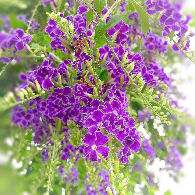 😊🌸💜 Hello~ 💜 This flower is blooming in Duranta😊 🌸✨ Thank you🙌 ✨✨✨✨🌸✨✨✨✨🌸✨✨ 😊🙏 @ip_for_blossoms ✨Featuring a two-page Duranta😊🙌💜 I am very happy💜🌸💜🌸💜✨✨ 😊🌸💜こんにちは〜 この花はデュランタ宝塚です💜🌸✨ ✨濃い青紫に白い縁取りがシックで華やか 美しいタカラジョンヌ の正装した袴姿を思わせることから😊💜宝塚だそうです🤗🙏💜✨ 😊✨花言葉 あなたを見守る✨ 😊いつも見ていただきありがとうございます🎐 🌸✨✨✨🌸✨✨🌸✨✨✨🌸 @ip_for_blossoms 様にフィーチャーしていただきました😊🙌💜🌸私はとても幸せです😊🌸💜🌸🎀✨✨✨ #デュランタ #デュランタ宝塚 #デュランタの花 #Duranta#紫色の花 #紫#purple#花マップ #花フレンド #私の花の写真 #花の写真館 #花撮り人 #ponyfony_flowers  #ip_for_blossoms  #rainbow_petals  #top_favourite_shots  #9vaga9