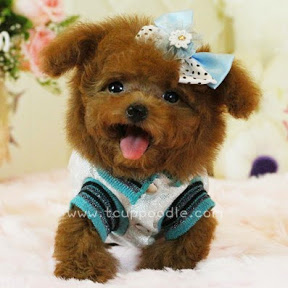 Teddy Bear Mommy (YouLong Breeding Center)