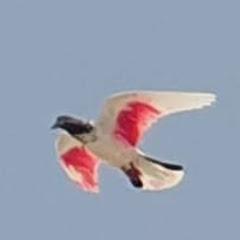 Dubai Pigeons Sports