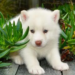 Pure Siberian Husky